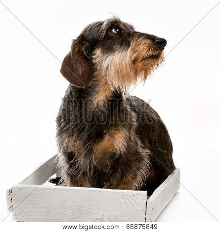 Longhair dachshund isolated on white background