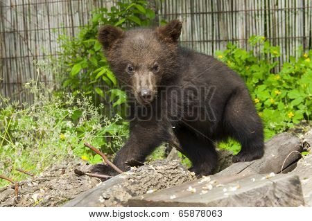 Brown Bear (ursus Arctos) Cub