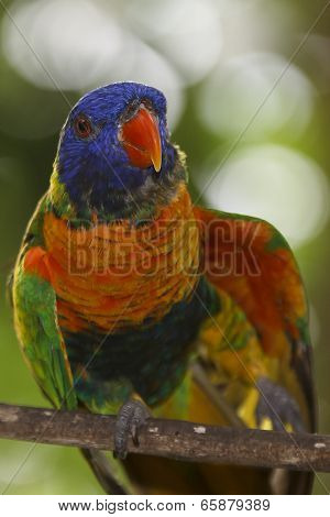 Rainbow Lorikeet bird