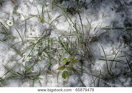 Poplar White Snowlike Hairs In The Pinewood Forest Near Marina Romea