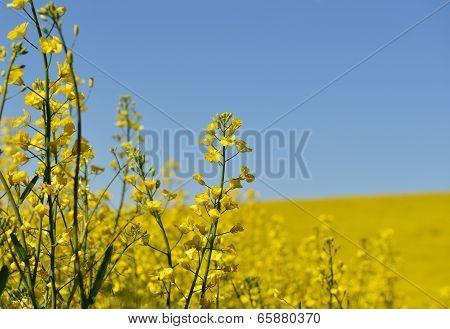 Yellow Canola Flower Field In Palouse
