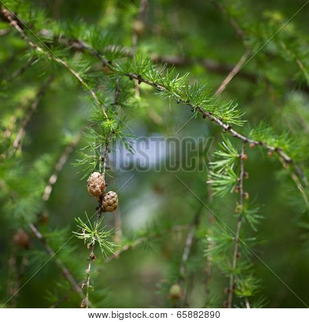 Relaxing larch greenery: closeup of European larch (Larix decidua) foliage with cones (selective focus)