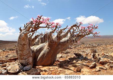 Bottle tree in bloom - adenium obesum - endemic tree of Socotra Island