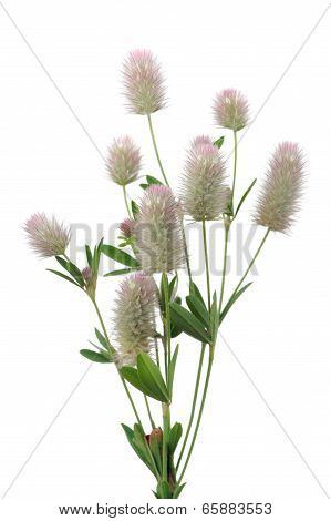 Haresfoot Clover (trifolium Arvense) On White Background
