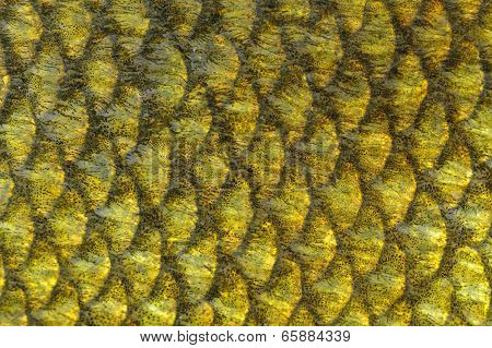 Real Tench Fish Scales Macro