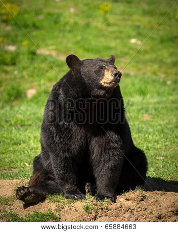 Large Eastern Black Bear Sitting Down