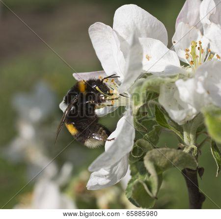 Bumblebee Takes Nectar