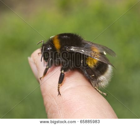 Bumblebee On A Finger Of The Human Hand.