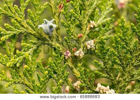 Thuja With Fruits