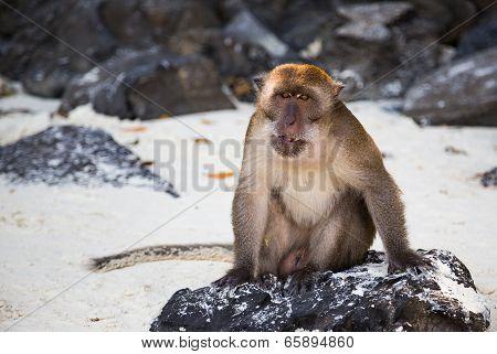 Thailand Monkey