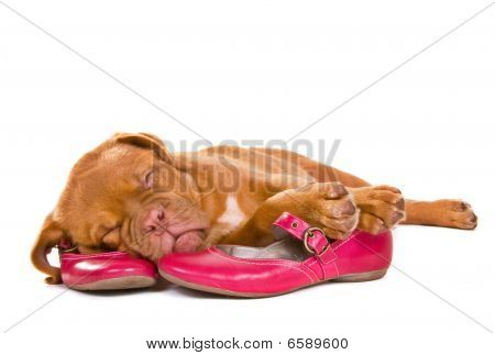 Puppy Sleeping In Female Shoes