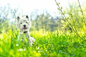 image of westie  - a single white dog on the grass - JPG
