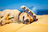stock photo of crazy hat  - drunk chihuahua dog having a siesta with crazy and funny silly face - JPG