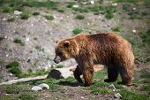 picture of grizzly bear  - Full body profile of a big female Grizzly bear - JPG