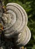 foto of bracket-fungus  - This beautiful bracket fungus destroys the tree - JPG