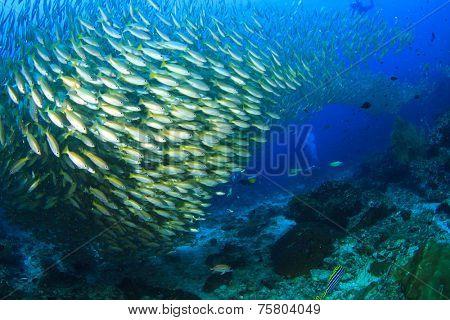 Scuba divers and huge school of Snapper fish