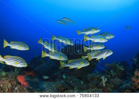 School Oriental Sweetlips fish