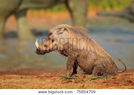 Mud covered warthog (Phacochoerus africanus) at a waterhole, South Africa
