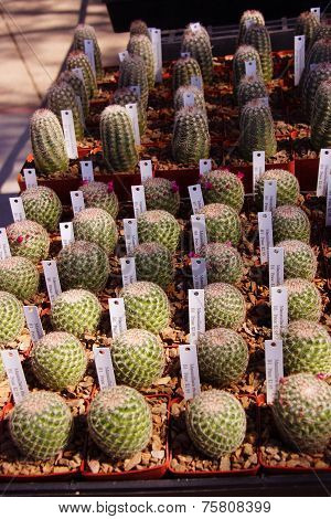 Cactus Starts Ready For Transplanting