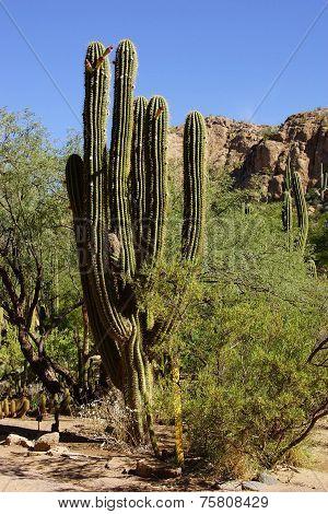 Senita Cactus