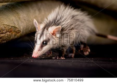 andean white eared opossum on a branch zarigueya andina