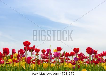 Mountain Valley Tulip Field