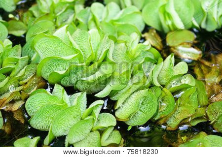 Duckweed In Pond