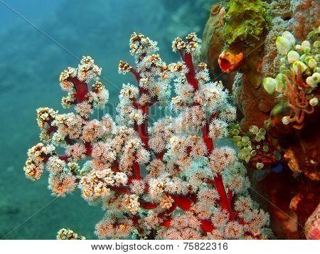 Gorgonian coral