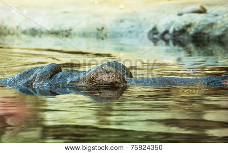 Hippopotamus Resting In The Water