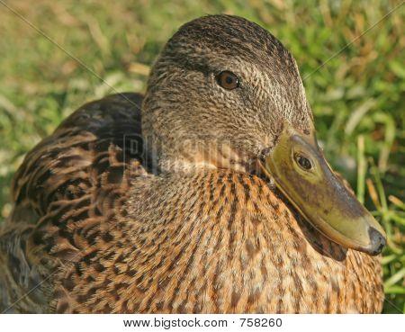 Hen mallard Duck