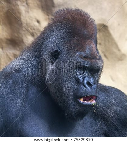 A gorilla male silverback leader of monkey family eating grass.