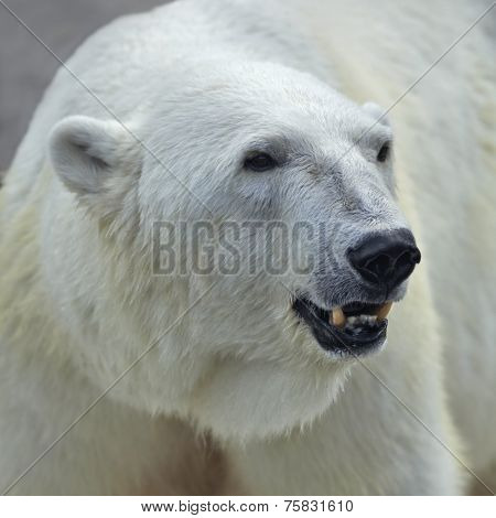 The head of a polar bear female. Side face portrait of a beautiful beast with open chaps.