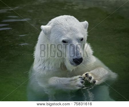 A polar bear female is sitting in the water with putted paws together.