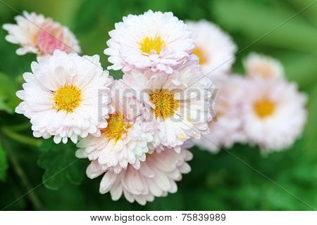 Rain Soaked Chrysanthemum