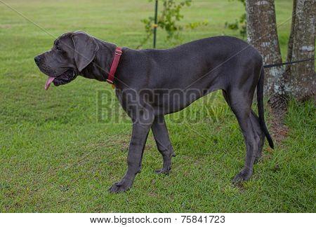 Staring Dog
