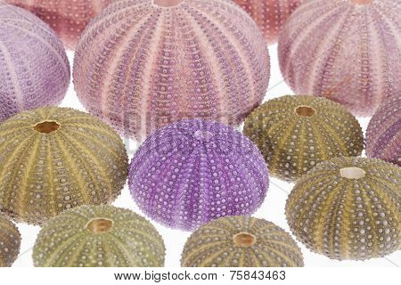 Some Seashells Of Sea Urchin On White Background