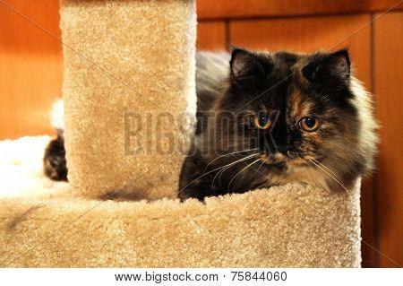 Tortieshell Cat