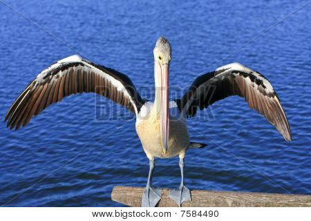 Australian Pelican with spread wings.