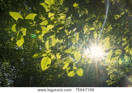 Sun Shines Through The Leaves
