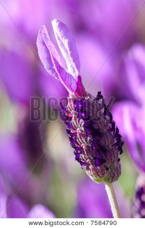 Lavender flower close up in garden
