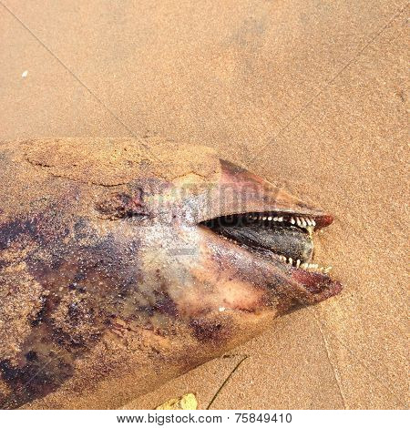 Dead dolphin, Harbour porpoise, on beach