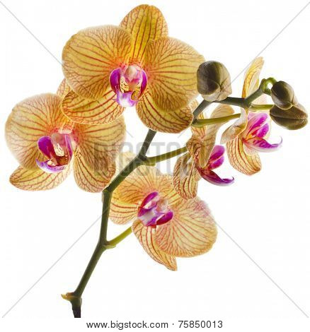 Beautiful colorful flower Orchid, phalaenopsis close up isolated on white background