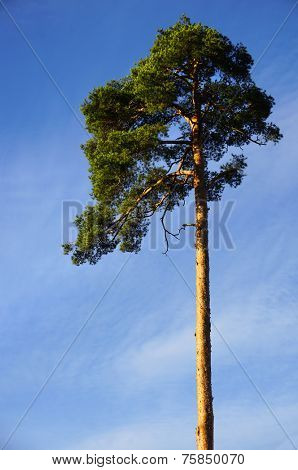 Single high beautiful spring pine tree on blue sky background