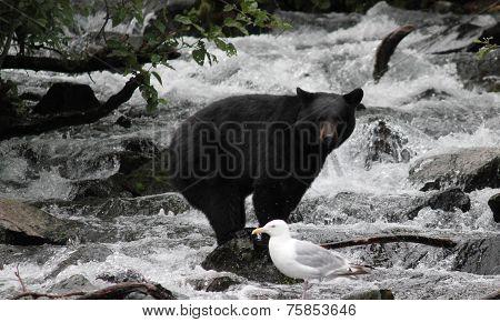 Black Bear Balancing