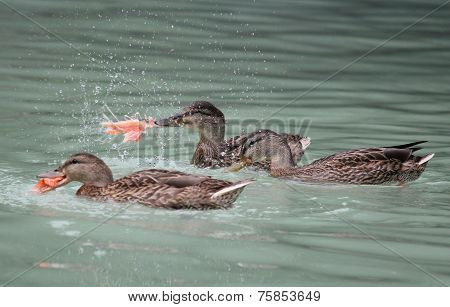 Ducks Eating Salmon