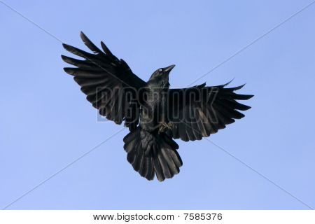 Black crow in flight.