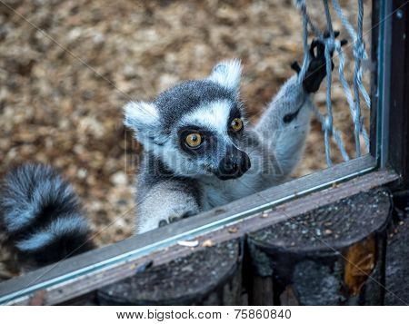 Lemur Greetings