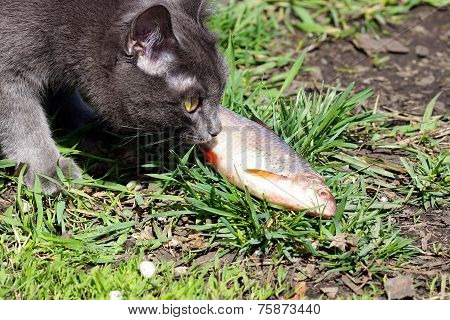 Cat And Fish.