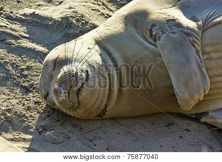 Sleeping Seal on Pacific shore