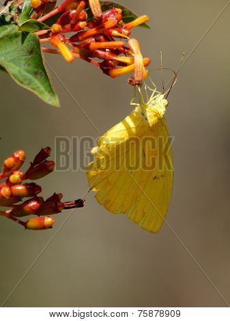 Cloudless Sulphur Butterfly Collecting Nectar